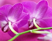 Pink dendrobium orchid flowers (close up)