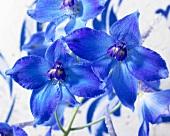 Blue delphiniums 'Peace'
