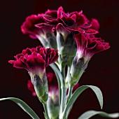 Dark red carnations