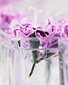 Two tone carnations (Dianthus Odessa) in a glass vase