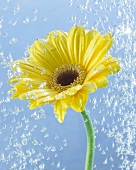 Yellow gerbera in water