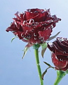 Two dark red roses in water