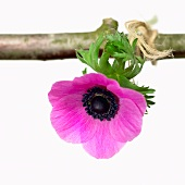 A pink anemone hanging from a twig