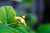 Flowering tutsan