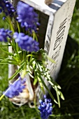 Grape hyacinths in a wooden container in a garden