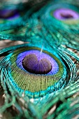 A peacock feather (close-up)