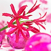 Red nerine flowers (Nerine Elegance) and pink glass balls
