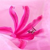Pinkfarbene Nerinenblüte (Nerine Belladonna)