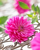 A pink dahlia on a metal grille