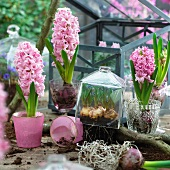 Pink hyacinths in glass pots and under a glass cloche