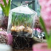 Grape hyacinths under a glass cloche