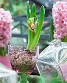 A hyacinth with buds in a glass pot