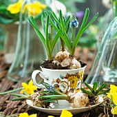 Grape hyacinths planted in a cup