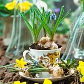 Traubenhyazinthenzwiebeln in Tasse gepflanzt
