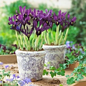 Purple dwarf iris (Iris Histriodes George) in pots