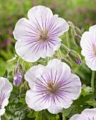 Himalayan geranium 'Derrick Cook'