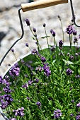 Flowering lavender in a plant pot
