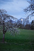 Flowering cherry trees in a garden in the light of the full moon