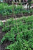 Pea plants in the garden