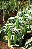 Lauch im Gemüsebeet