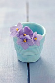 Violets in a blue ceramic pot