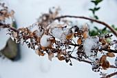 Vereiste Zweige im Winter