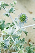 Sea holly on Sardinia's East coast