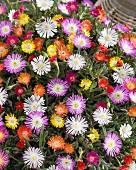 Colourful delosperma