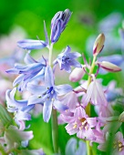 Spanish bluebells (close-up)