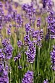 A lavender field (detail)