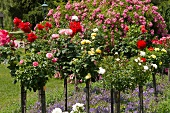 Roses in a park