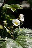 Strawberry flowers (close-up)