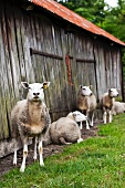 Sheep in front of a wooden barn