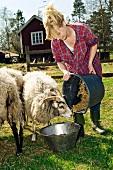 Farmer feeding sheep