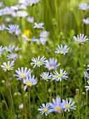 Violette Wiesenblumen