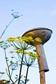 Flowering dill next to watering can rose on stick