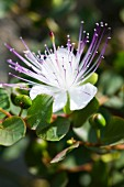 Delicate caper flower amongst leaves and fruits