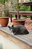 Cat in front of potted plants (olive tree, jasmine) in garden