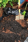 Planting bulbs under a tree (mulching with compost)