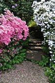 Azaleas and rhododendrons in garden