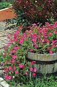 Pink petunias in wooden barrel