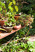 Various potted succulents on vintage metal shelf