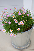 Small pink flowers in ceramic pot on tiled floor