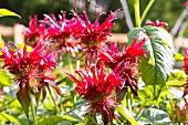 Bergamot with flowers in a garden
