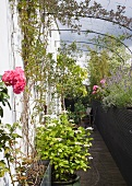 Roof garden with climbing plants and trellis