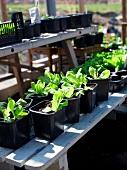 Seedlings in plant pots on garden bench