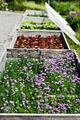 Cold frames containing herbs and vegetables