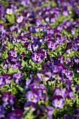 Purple violas (full image)