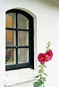 Red hollyhock in front of house facade with black-painted lattice window