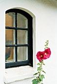 Rot blühende Malve vor Hausfassade und schwarz lackiertem Sprossenfenster